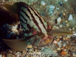 A very young grouper by Vittorio Durante 